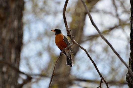 Robin not common